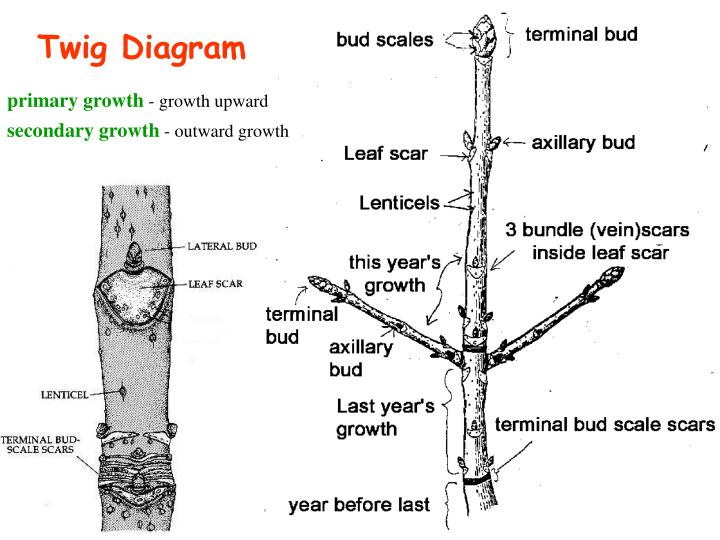 Twig Diagram
