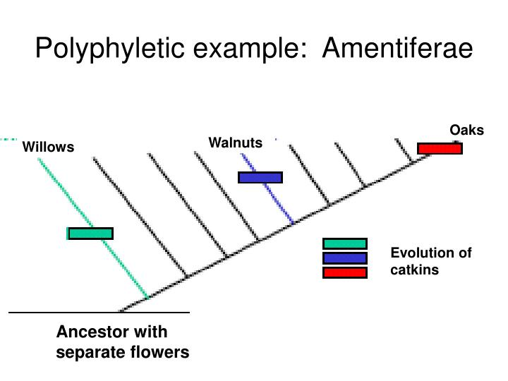 Polyphyletic example:  Amentiferae