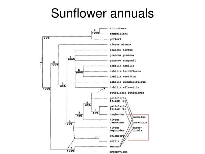 Sunflower annuals