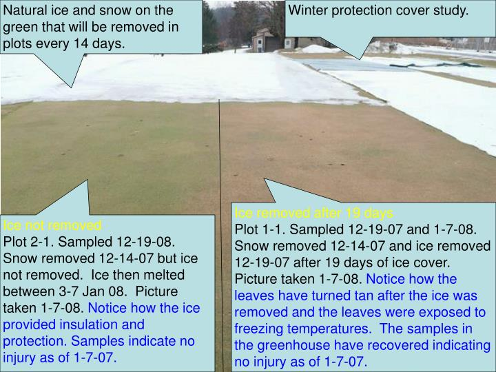 Natural ice and snow on the green that will be removed in plots every 14 days.
