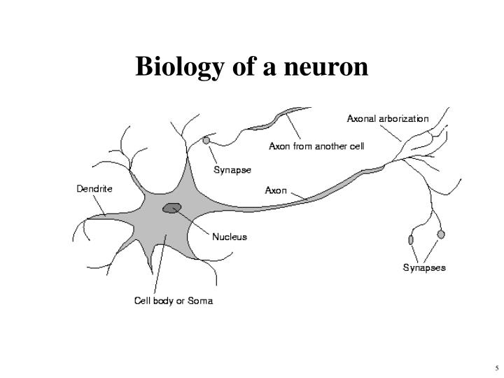 Biology of a neuron