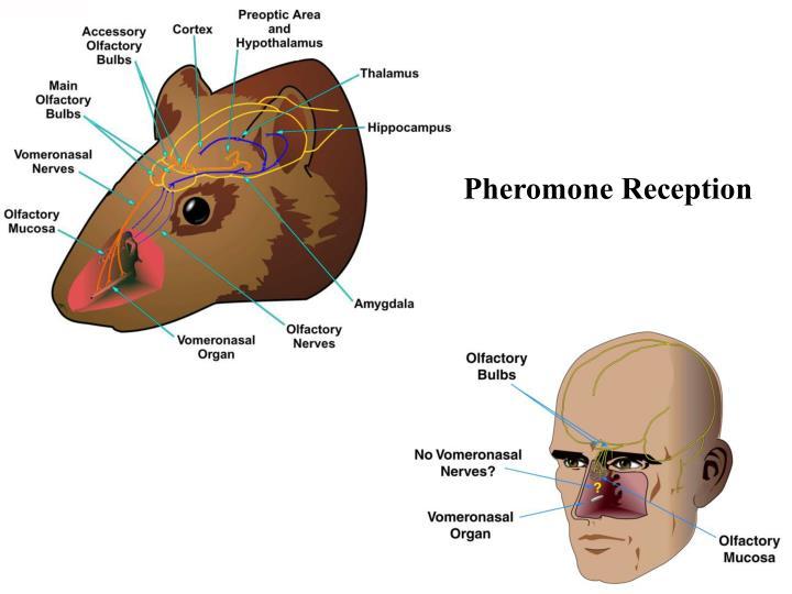 Pheromone Reception