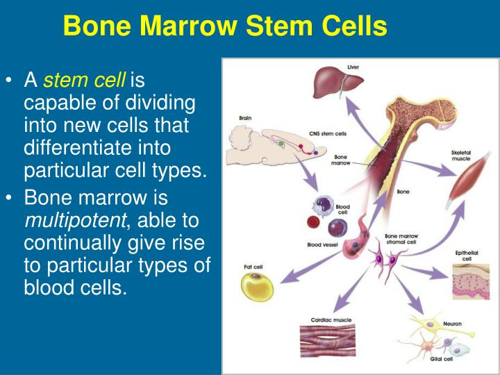 Bone Marrow Stem Cells