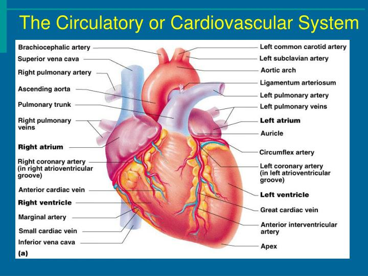 The Circulatory or Cardiovascular System