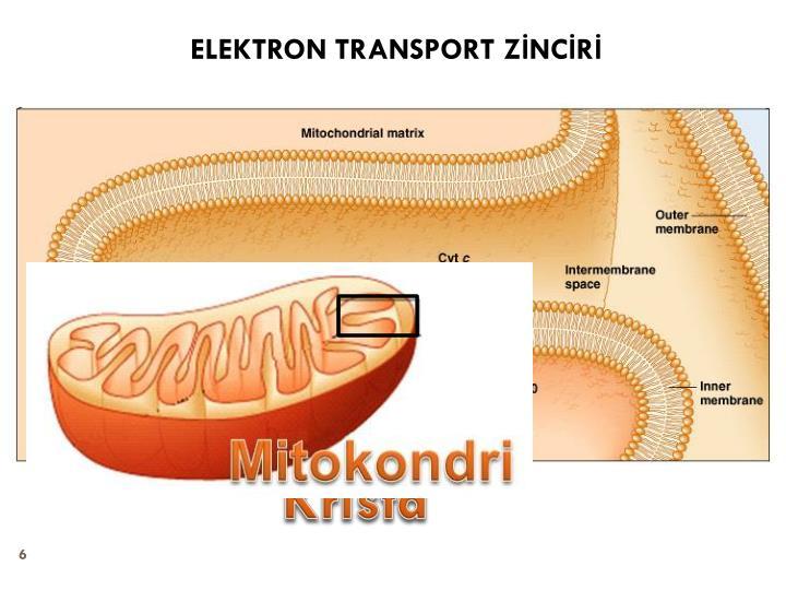ELEKTRON TRANSPORT ZİNCİRİ