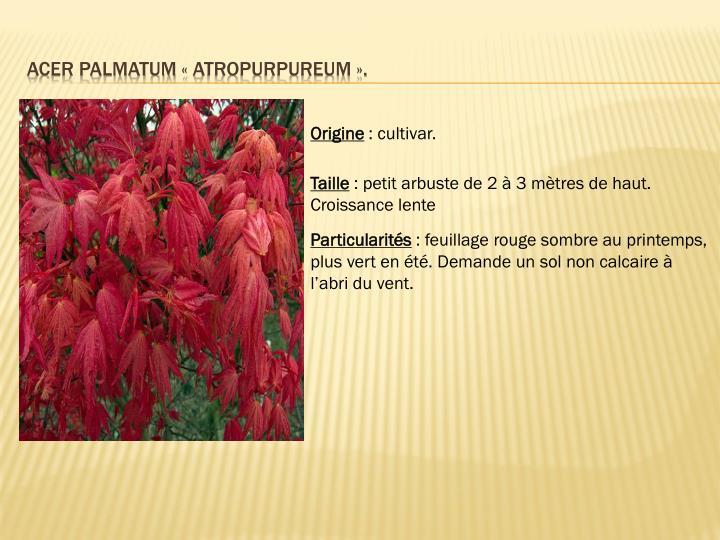 Acer palmatum «atropurpureum».