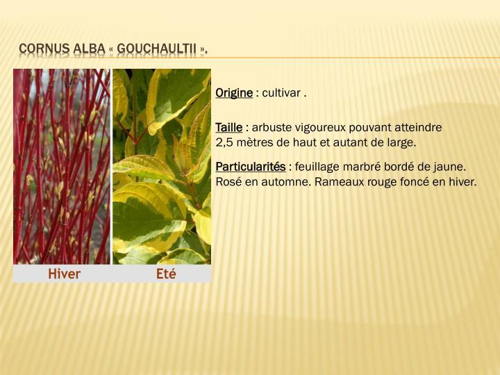 CORNUS alba «Gouchaultii».