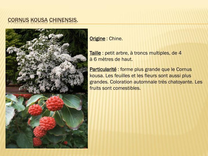 Cornus kousa chinensis.