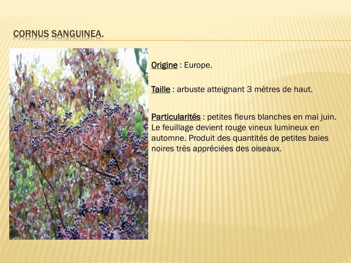 Cornus sanguinea.
