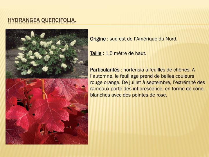 Hydrangea quercifolia.