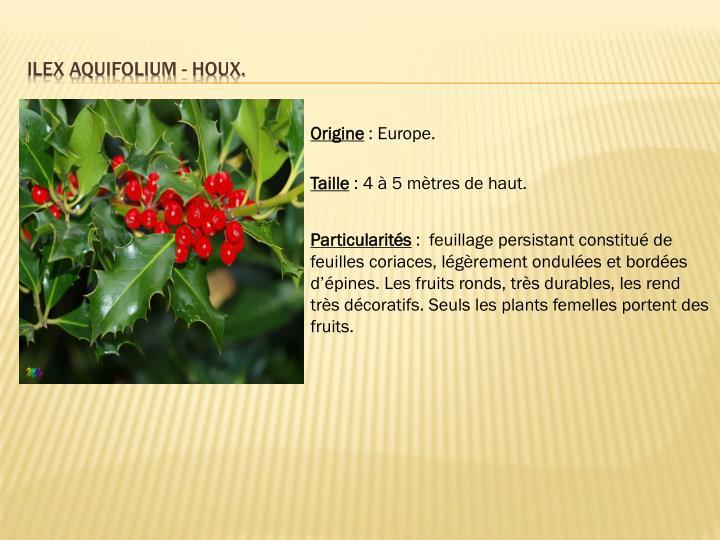 Ilex aquifolium - houx.