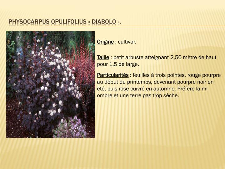 Physocarpus opulifolius «diabolo».