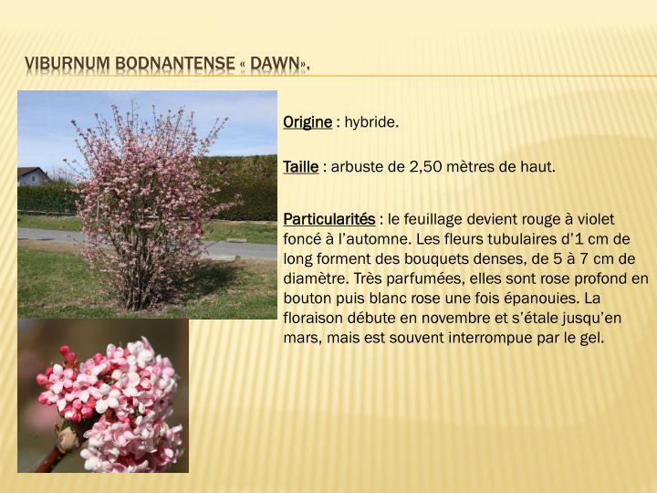 Viburnum bodnantense «dawn».