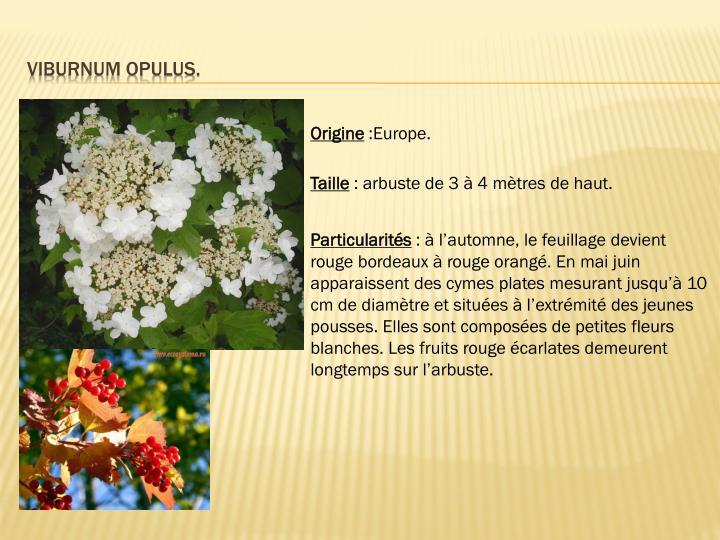 Viburnum opulus.
