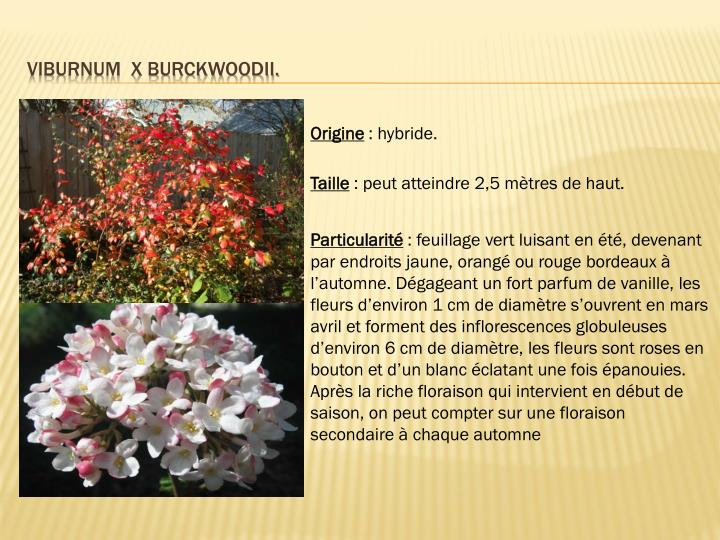Viburnum  X burckwoodii.