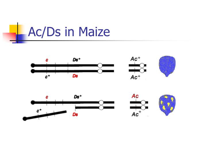 Ac/Ds in Maize