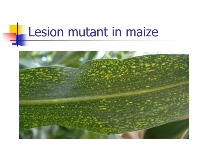 Lesion mutant in maize