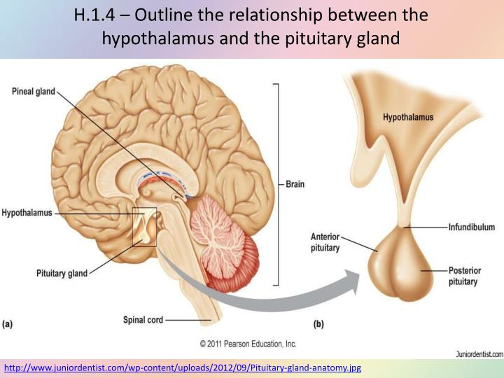 relationship between pituitary and adrenal glands