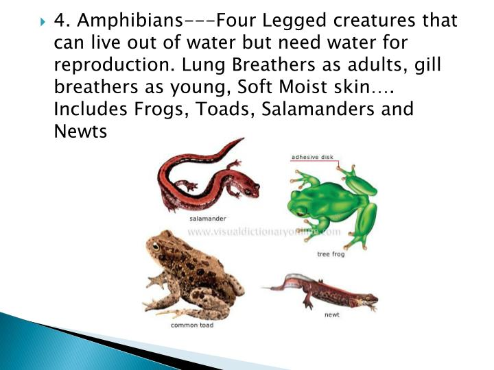 4. Amphibians---Four Legged creatures that can live out of water but need water for reproduction. Lung Breathers as adults, gill breathers as young, Soft Moist skin…. Includes Frogs, Toads, Salamanders and Newts