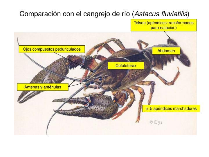 Comparación con el cangrejo de río (