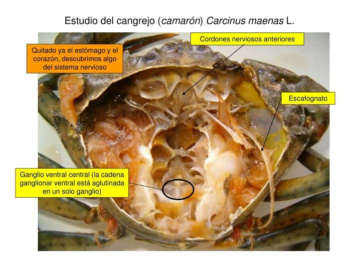 Estudio del cangrejo (