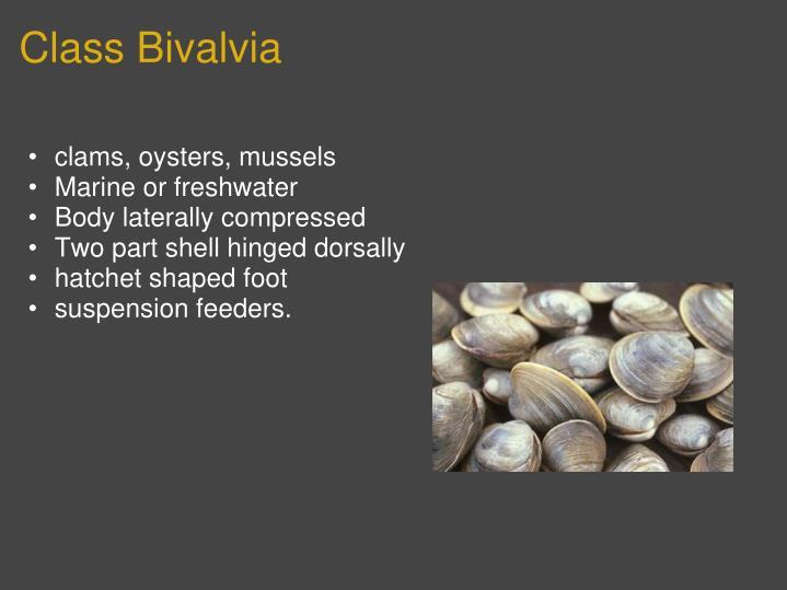 Class Bivalvia