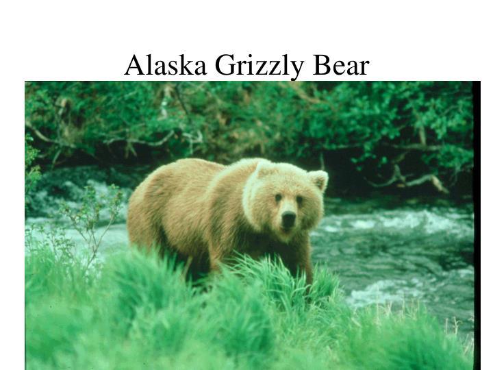 Alaska Grizzly Bear