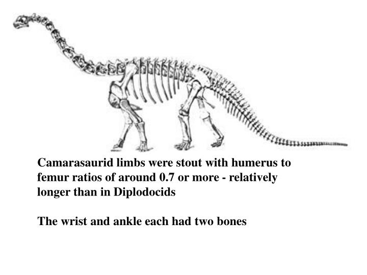 Camarasaurid limbs were stout with humerus to femur ratios of around 0.7 or more - relatively
