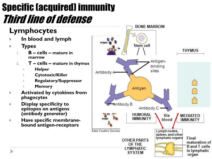 Specific (acquired) immunity