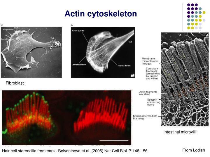 Actin cytoskeleton