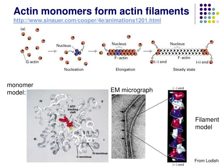 Actin monomers form actin filaments