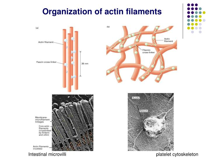 Organization of actin filaments