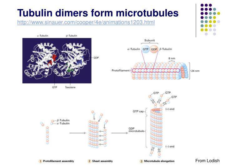 Tubulin dimers form microtubules