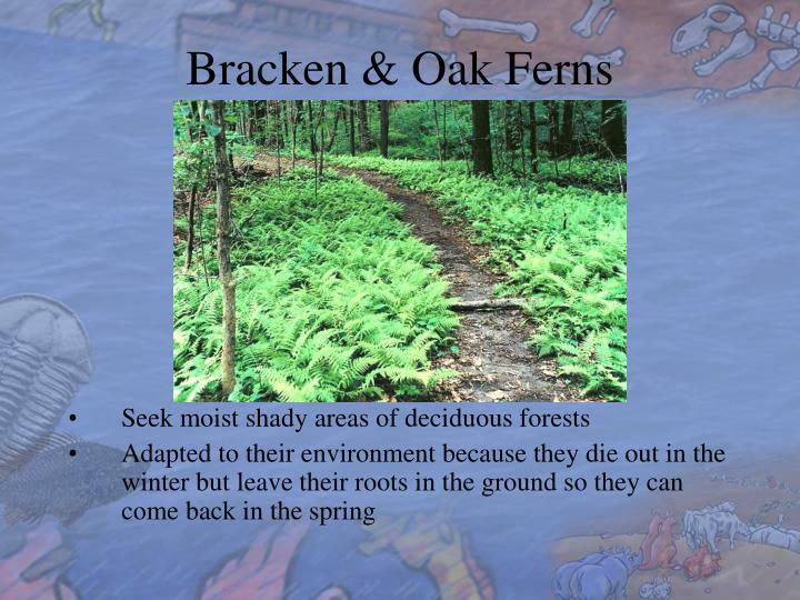 Bracken & Oak Ferns