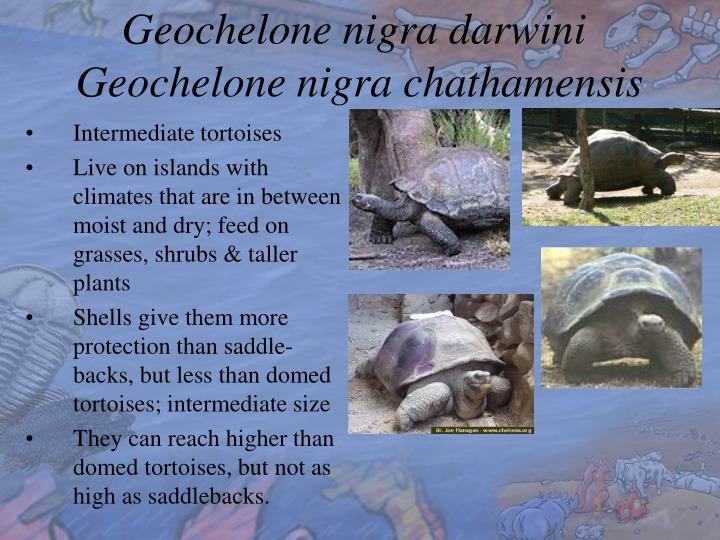 Geochelone nigra darwini