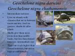 geochelone nigra darwini geochelone nigra chathamensis