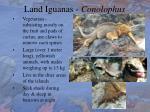 land iguanas conolophus