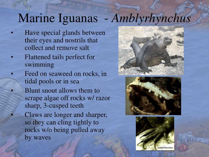 Marine Iguanas  -