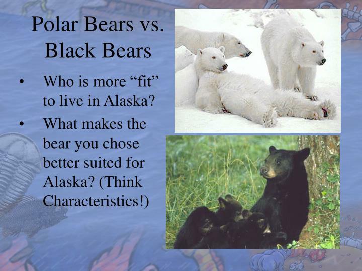 Polar Bears vs. Black Bears