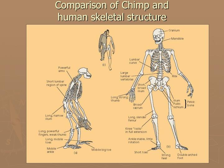 Comparison of Chimp and