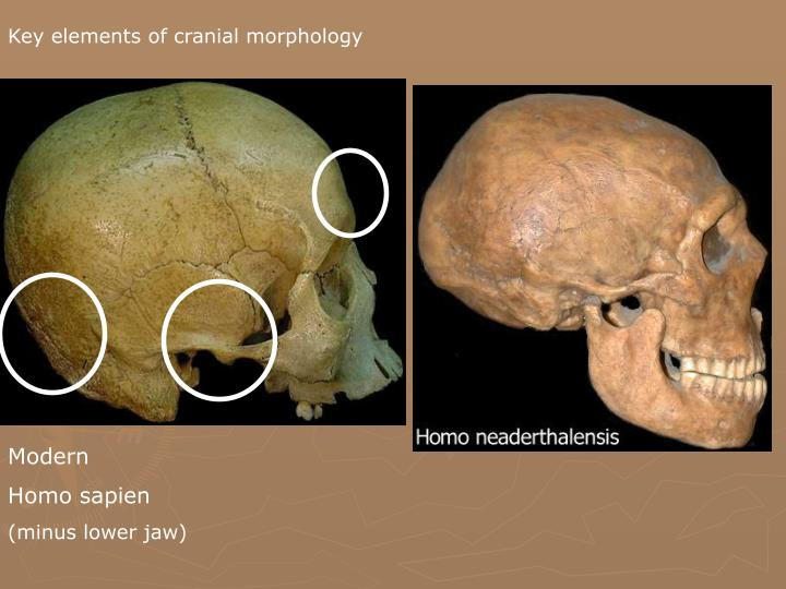 Key elements of cranial morphology