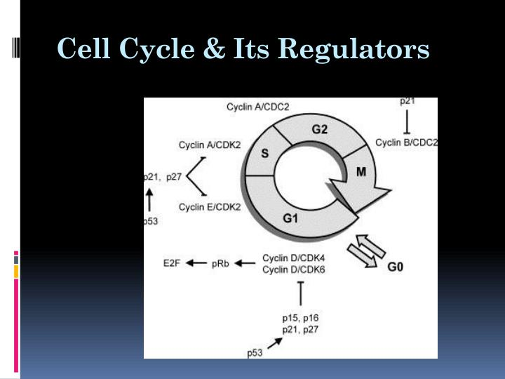 Cell Cycle & Its Regulators