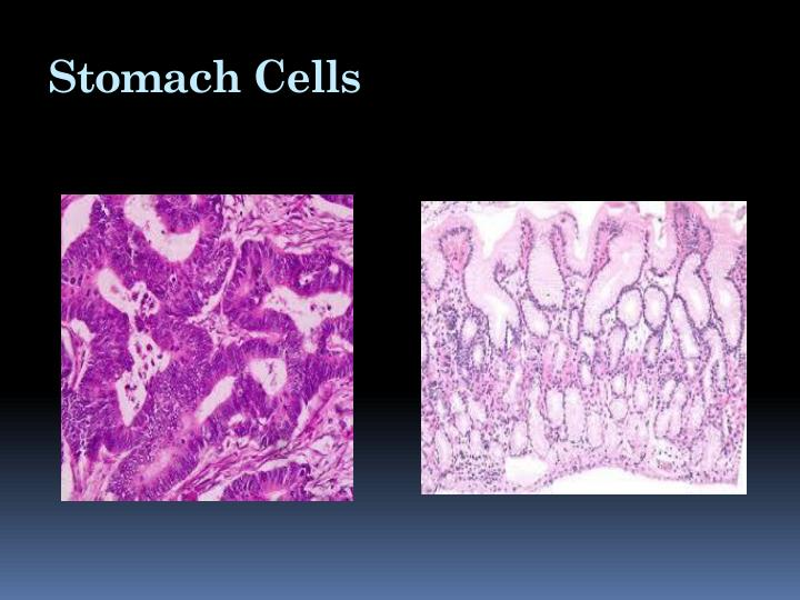 Stomach Cells