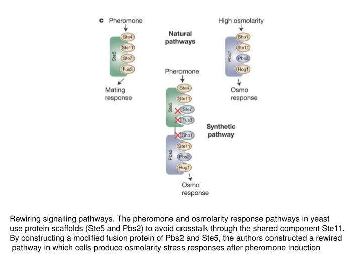 Rewiring signalling pathways. The pheromone and osmolarity response pathways in yeast