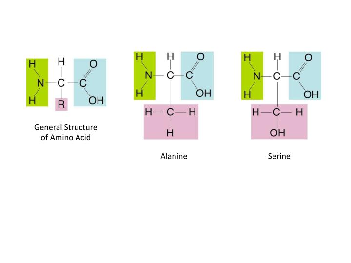 General Structure of Amino Acid