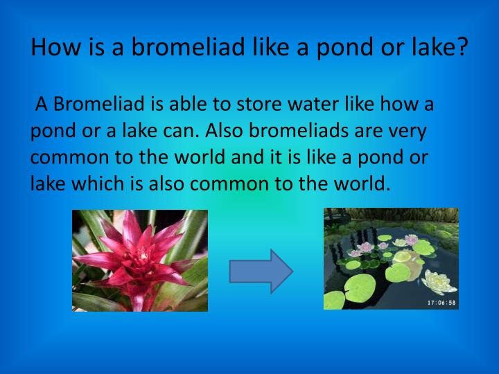 How is a bromeliad like a pond or lake?