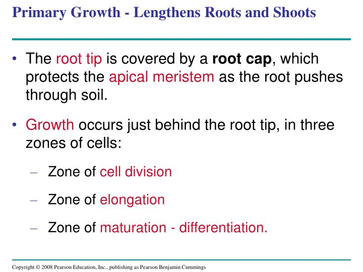 Primary Growth - Lengthens Roots and Shoots