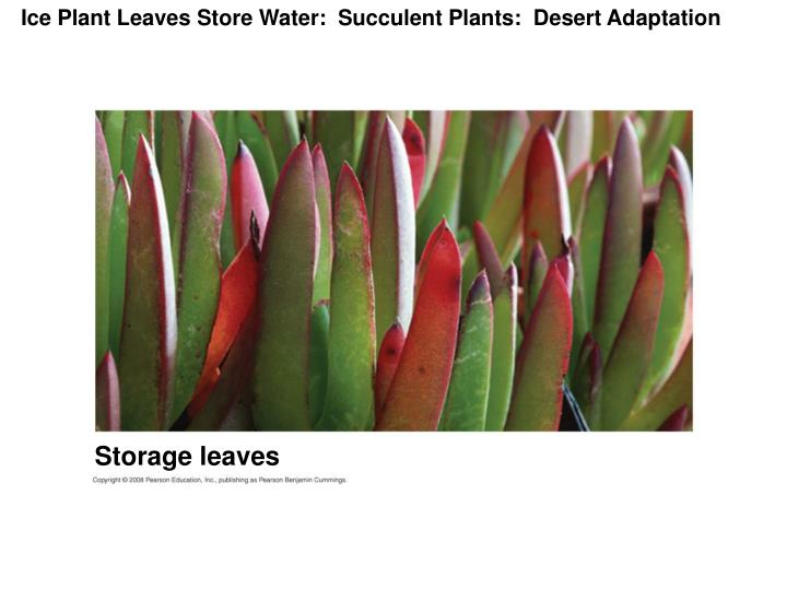 Ice Plant Leaves Store Water:  Succulent Plants:  Desert Adaptation