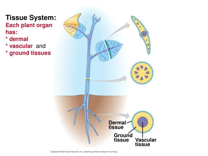 Tissue System: