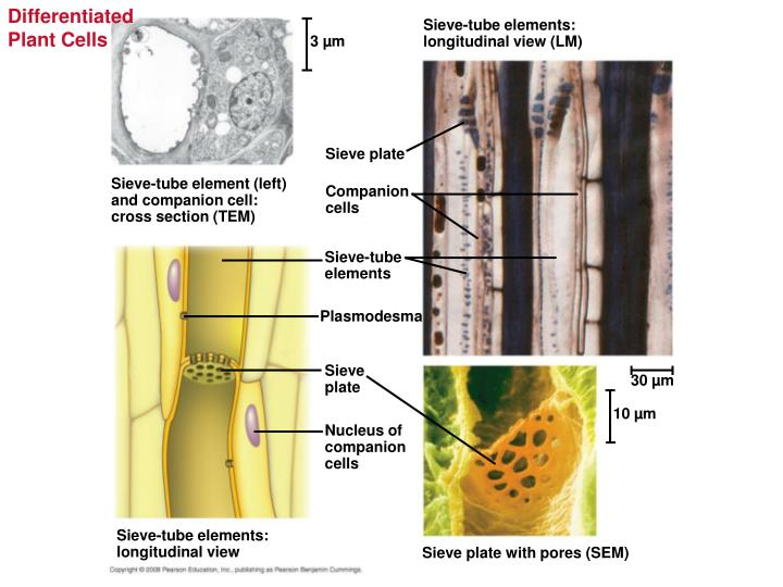 Differentiated Plant Cells